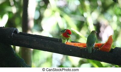 Pair of Red-headed Barbet