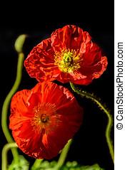 Pair of Red Poppy Flowers