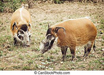 Pair of Red river hog (Potamochoerus porcus). Animal theme....