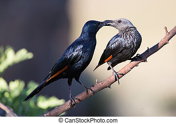 Pair of red winged starlings