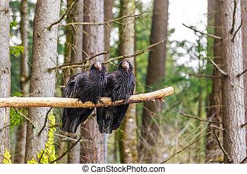 California Condors - Pair of rescued California Condors ...