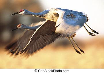 Pair of Sandhill Cranes in flight