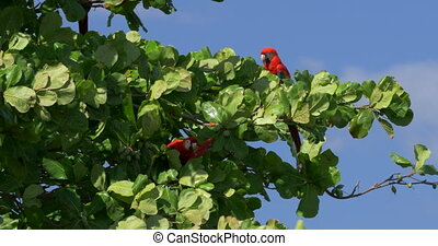 Pair Of Scarlet Macaws Sitting On A Tree, Costa Rica