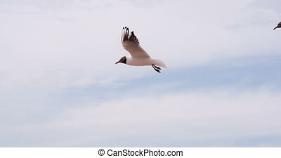 pair of seagulls hovering