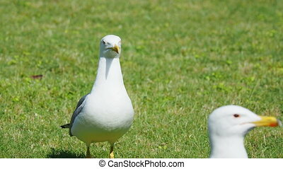 Pair of seagulls walking on green grass.