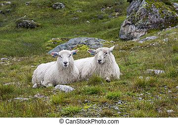 pair of sheep in Norway