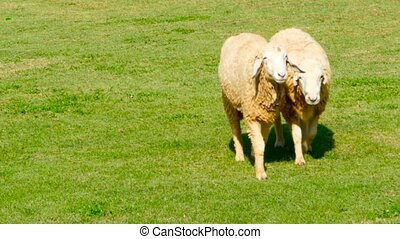 Pair of sheeps walk on a sunny green juicy meadow