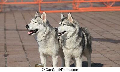 Siberian huskies - pair of Siberian huskies, close-up