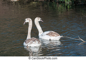 Pair of signets - Two signets swimming in a sunlit lake