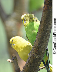 Pair of Sleepy Budgies Sitting Together in a Tree