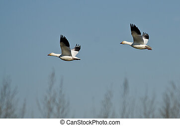 Pair of Snow Geese Flying Across the Marsh