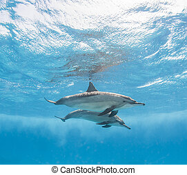 Pair of spinner dolphins just below surface with reflection underwater