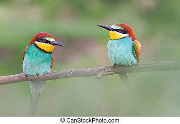 pair of spring beautiful birds bee-eaters