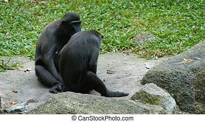 Two adult specimens of Sulawesi Crested Macaques, with their black fur, sitting on a rock at the zoo and grooming themselves. UltraHD video