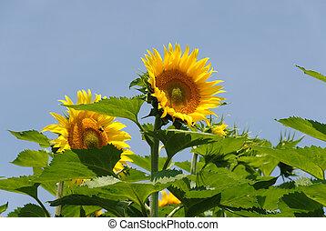 pair of sunflowers
