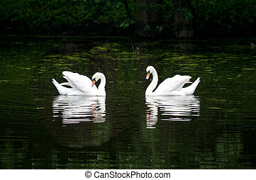 pair of swan on the lake in a forest