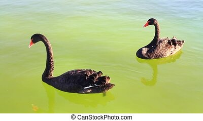 Pair of swans feeding on the pond - Black swans swimming in...