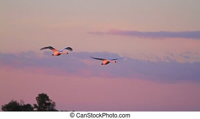 pair of swans flying fast at sunsetpair of swans flying fast...
