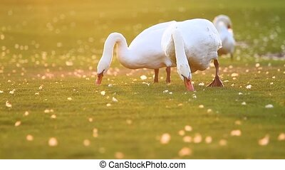 pair of swans nibbling grass at sunset, breath of autumn