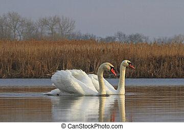 pair of swans on spring water