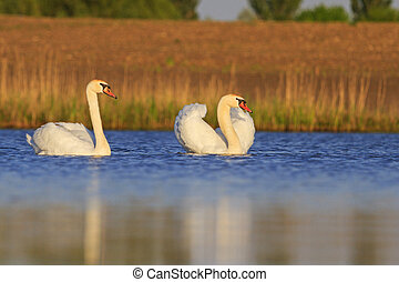 pair of swans on the blue clear water