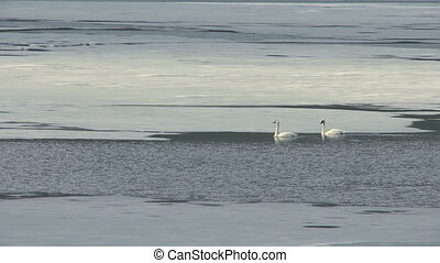 Tundra Swans - Pair of Tundra Swans on a springtime ice...