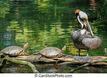 Pair of turtles and a Pelican - Pair of turtles and a ...