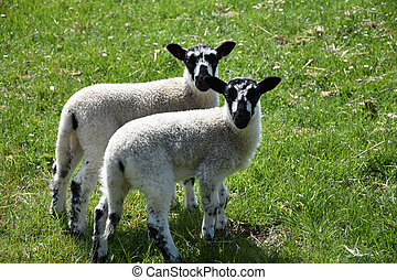 Pair of Twin Speckled Face Lambs in a Grass Field