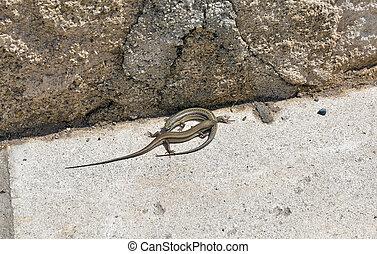 Pair of viviparous lizards ( Zootoca vivipara ) sunbathing
