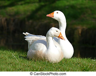 Pair of white geese on the grass