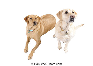 A pair of female White Labrador dogs looking quizzically isolated on white