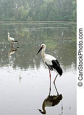 Pair of white storks