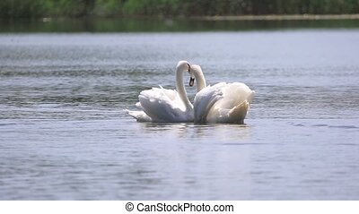 pair of white swans fulfills a love dance , wild nature