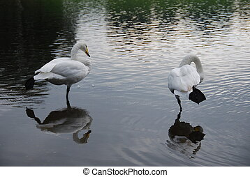 Pair of white swans standing in shallow water with reflection