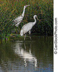 Pair of whooping cranes mirrored - A pair of endangered ...