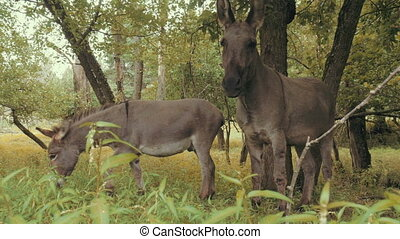 Pair of wild miniature donkeys. Natural lighting. 4K...