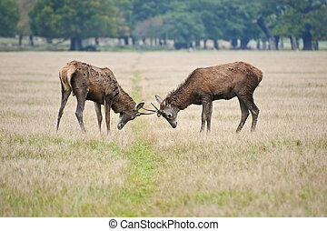 Pair of young red deer stags jousting in Autumn Fall