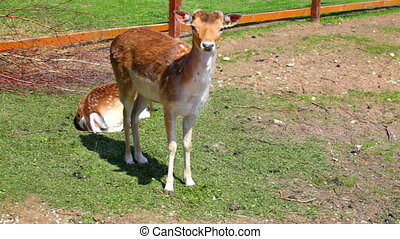 Pair of young spotty deer in a zoo