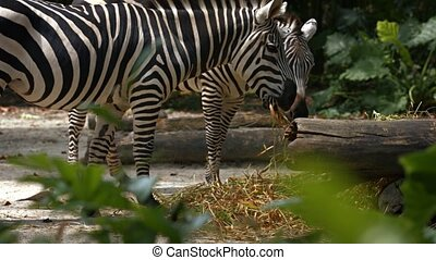 Pair of mature zebras standing and eating grass in their realistic habitat enclosure at a popular, public.