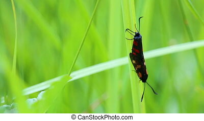 Pair of zygaena moth mating on grass