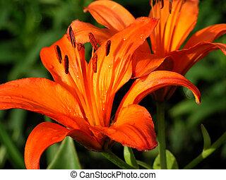 pair orange lilium flower garden