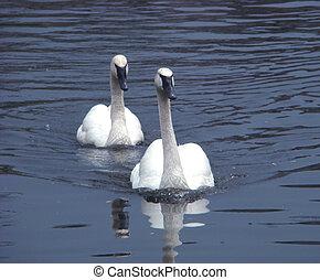 Pair swans of trumpeters