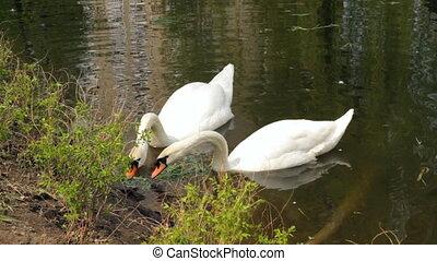 Pair white swans