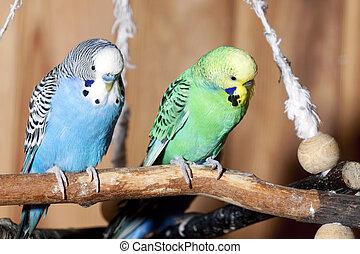 paire, bleu, perruches