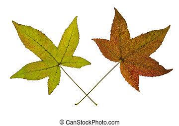 paire, feuilles, fond blanc, érable