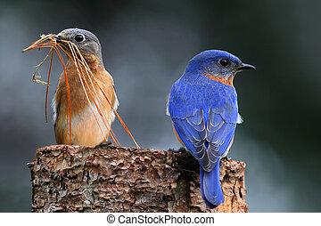 paire, oiseaux bleus