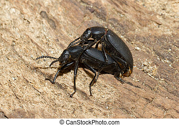 Pairing large black beetles