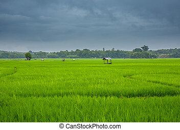 paisagem, campo arroz, em, nan