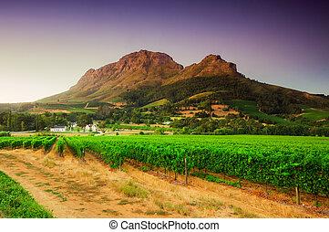 paisagem, imagem, de, um, vinhedo, stellenbosch, sul,...