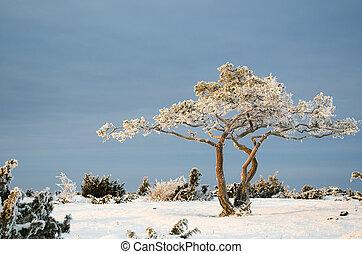 paisagem, inverno árvore, pinho, gelado